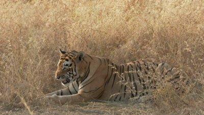 Bengal Tiger (Panthera tigirs tigris) sneezing (backlit)  between dry grasses,  Ranthambhore N.P. India.