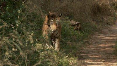 Bengal Tiger (Panthera tigirs tigris) old male urinates on a plant then walks off.