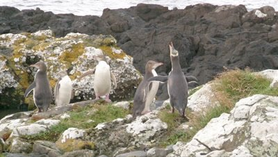 Yellow-eyed Penguin courtship on rocky coastline of Enderby Island, in the Ross sea.