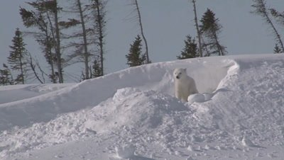 Polar Bear (Ursus maritimus) cub exploring outside the Den.