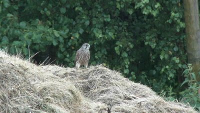 Kestrel (Falco tinnunculus) searching for food in haystack, during rain.