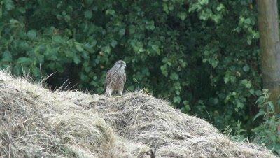 Kestrel (Falco tinnunculus) searching for food in haystack, during rain.