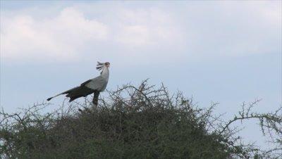 Secretary bird (Sagittarius serpentarius) on nest