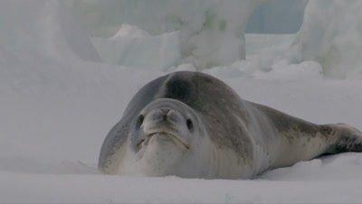 Leopard Seal ( Hydrurga leptonyx) on floe, in the Ross sea, Antarctica