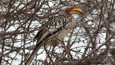 Southern Yellow-billed Hornbill (Tockus leucomelas) perched on shrub preening feathers
