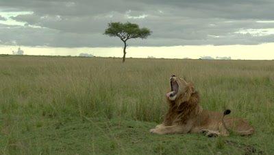 Male Lion (Panthera leo) yawning