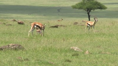 Thomson's Gazelle (Eudorcas thomsonii) fawn walking around in search for mother.