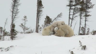 Polar Bear Cubs (Ursus maritimus) mother with two three months old playful cubs at denning site, Wapusk N.P. Canada