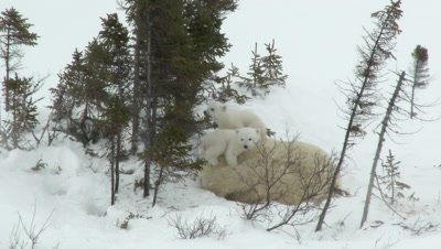 Polar Bear (Ursus maritimus) mother with her tiny three months old cubs climbing on her.