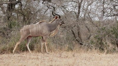 Greater Kudu (Tragelaphus strepsiceros) bull foraging on shrubs and walks off.