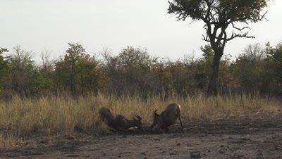 Topi or Common tsessebe (Damaliscus lunatus lunatus) taking a mudbath.