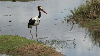 Saddle-Billed Stork ( Ephippiorhynchus senegalensis) wading through shallow water in search of food.