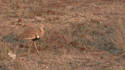 Red-Crested Korhaan (Lophotis ruficrista) cautiously walking between dry grasses