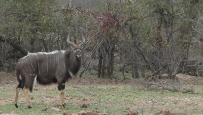 Nyala (Tragelaphus angasii) male in woodlands looking at camera, while hard wind blowing his hair