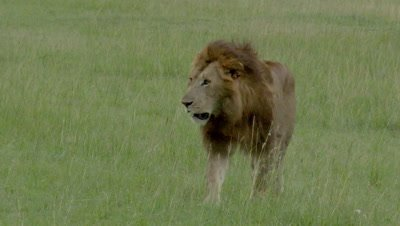 African Lion (Panthera leo) male passing, close to camera