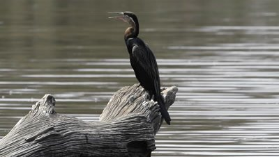 African Darter (Anhinga rufa) on stump of dead tree in water, vibrating throat