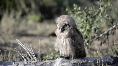 Verraux's Eagle Owl (Bubo lacteus) perched on stump in evening sun, looking at camera with one eye