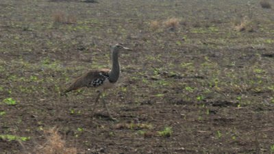 Kori Bustard (Ardeotis kori) walking around
