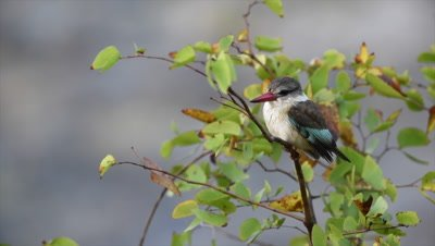 Brown-Hooded Kingfisher (Halcyon albiventris) perched on branch, wobble in strong wind