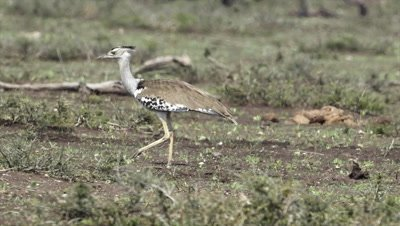 Kori Bustard (Ardeotis kori) walking on savannah.