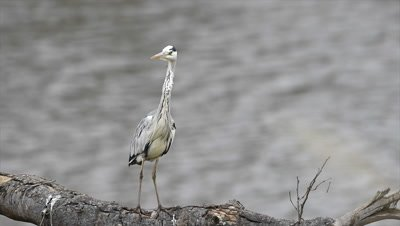 Great Blue Heron (Ardea herodias) standing on a branch in water