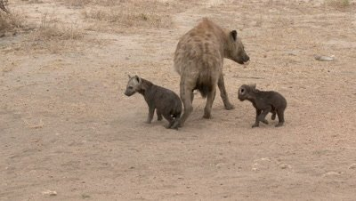 Hyena (Crocuta crocuta) mother walking away from small pups, looking cautiously around, while sitting together  in the sand