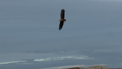 White-tailed Eagle (Haliaeetus albicilla)  in flight above sea level towards camera