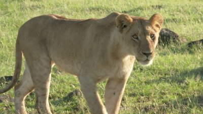 African Lion (Panthera leo) female walking towards and passing close to camera