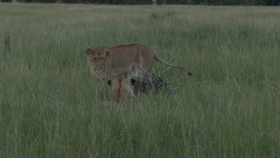 African Lion (Panthera leo) females harassing a Porcupine