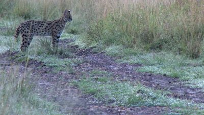 Serval (Leptailurus serval) male sniffing grasses and crossing road