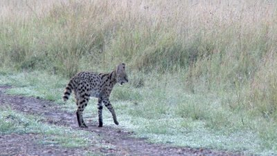 Serval (Leptailurus serval) male sauntering along a road and looking around