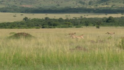 Cheetah (Acinonyx jubatus) running towards Grants' gazelle, Masai Mara
