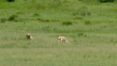 Cheetah (Acinonyx jubatus)  chasing and killing a Grant's gazelle, Maasai Mara.