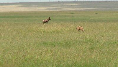 Cheetah (Acinonyx jubatus)  running for gazelle