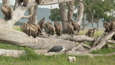 Diversity of Vultures and Hyena  (Crocuta crocuta) gathered and eating from an Elephant carcass