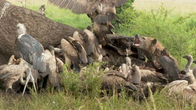 Diversity of Vultures and Hyena  (Crocuta crocuta) gathered and eating from an Elephant carcass, Hyena chasing away vultures.