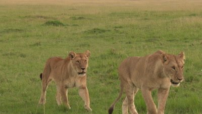 Lion sisters (Panthera leo)  passing by in front of camera