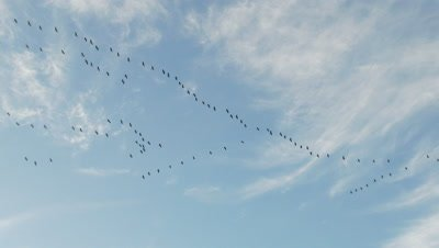 Common Cranes (Grus grus) flying in formation