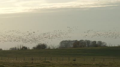 Common Cranes (Grus grus) big flock in flight above agricultural land