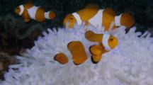 Amphiprions In White Actinia