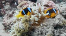 Amphiprions In Actinia