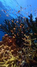 Vertical Locked Shot Beautiful Healthy Coral With Colorful Fish
