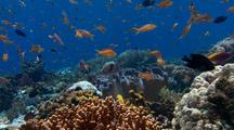 Locked Shot Of Healthy Coral With Many Colorful Fish