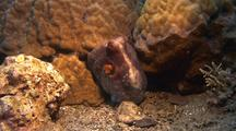 Octopus Hides In Coral