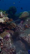 Vertical Locked Shot Of Healthy Coral Reef With Moray Eel