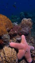 Vertical Locked Shot Of Healthy Coral Reef And Starfish