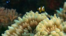 Anemonefish, Possibly Juvenile Saddleback, In Host Anemone