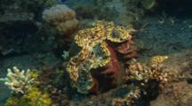 Giant Tridacnid Clam