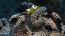 Saddleback Anemonefish And Dascyllus In Anemone