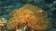 False Clownfish In Orange Anemone